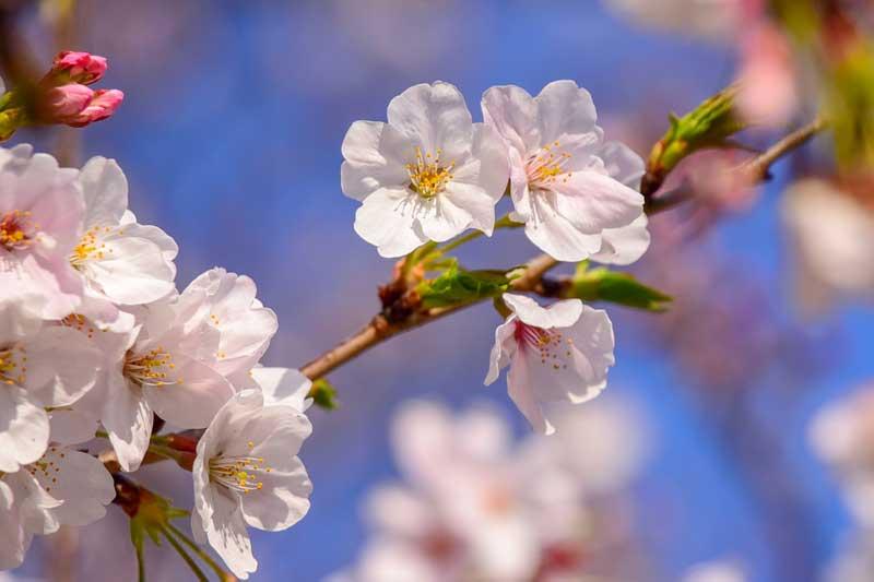 スマホでの桜の撮影法