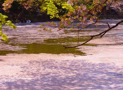 桜の花びらで覆われた水面