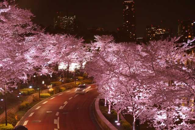 ライトアップされた桜の撮影