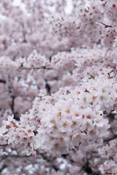 桜の花の密集しているところにフォーカス