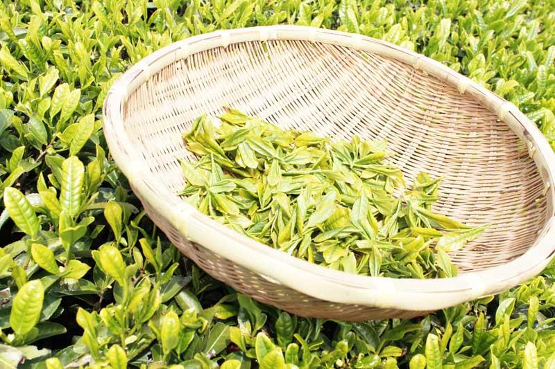 新茶の時期と楽しみ方