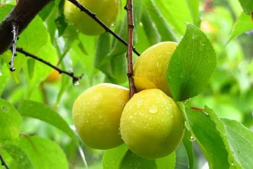梅酒の梅の種類